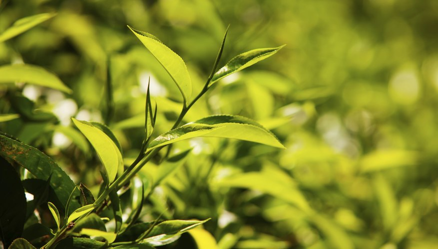 A tea plant provides an appealing evergreen backdrop.
