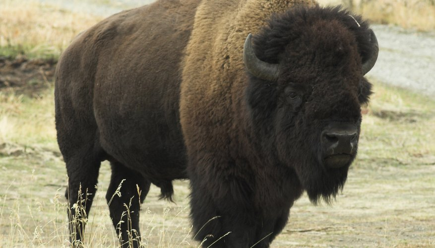 American bison are among the heaviest wild bovids in the world.