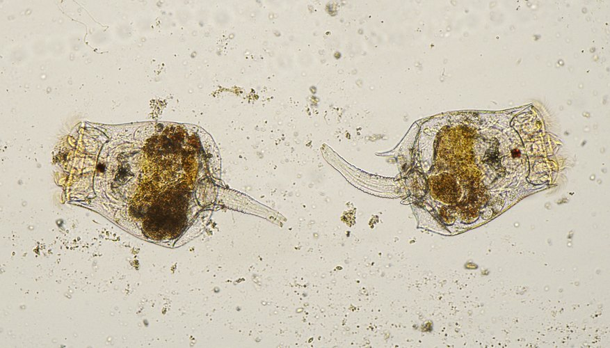 rotifers under microscope