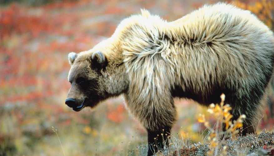 Avalanche chutes offer prime seasonal forage for grizzlies.