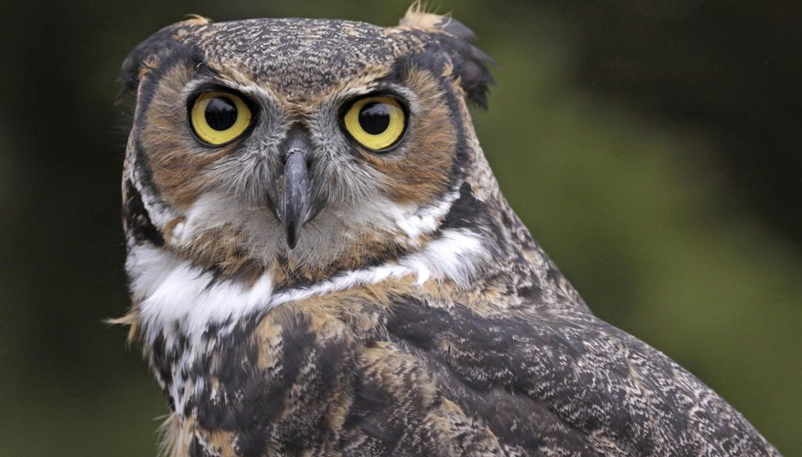 Fierce hunters, great horned owls commonly prey on other raptors.