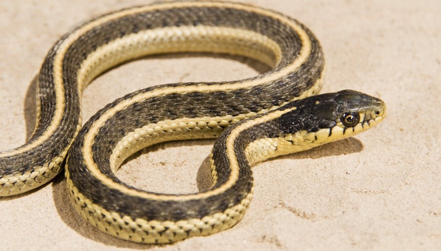 The eastern garter snake (Thamnophis sauritus) comes in many color patterns, but can be identified by a light-colored stripe running down the top of its back.