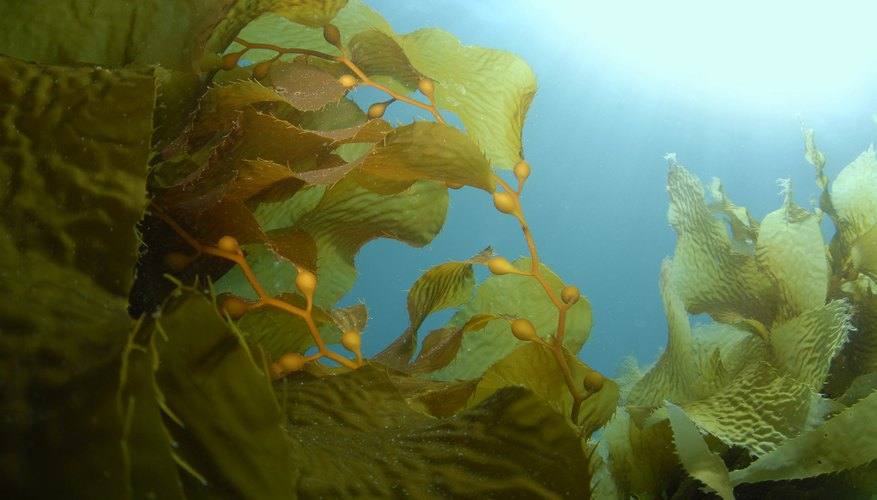 Seaweed can produce sexually or asexually.