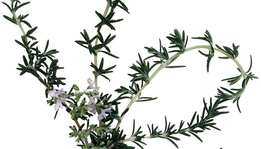 A native environment of harsh conditions led to small flowers and waxy leaves among rosemary species.
