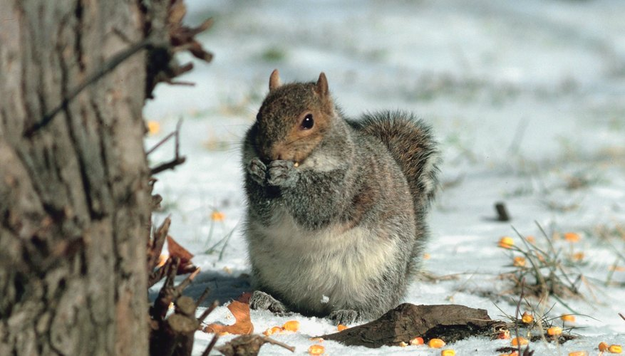 The eastern United States is home the eastern gray squirrel.