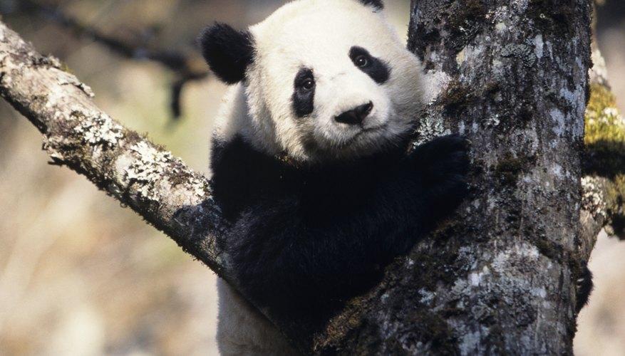 Las caras de los pandas gigantes no pueden mostrar expresiones.