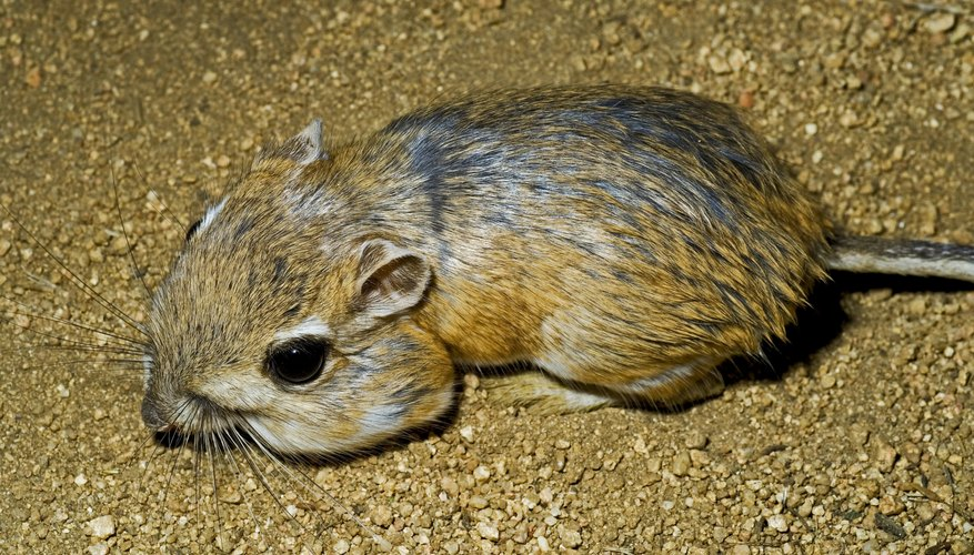 kangaroo rats live in dry regions