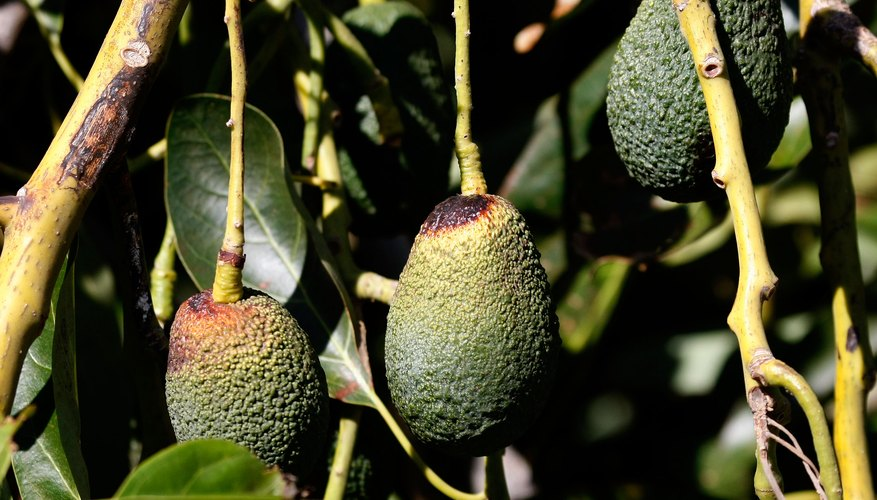 Leaf yellowing on Hass avocado trees is a warning sign of trouble.