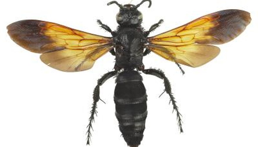 Several species of wasps maintain ground nests.