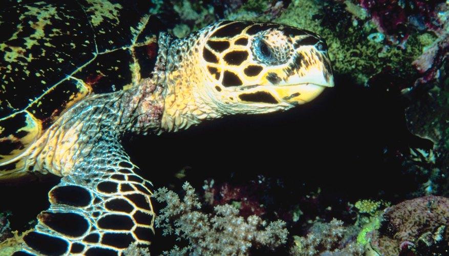Una tortuga marina de carey.