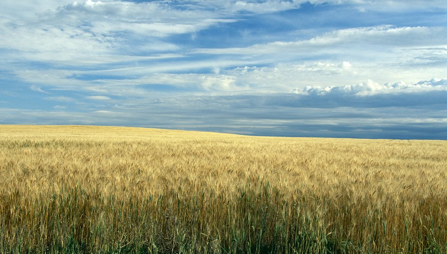 wheat growing on the plains