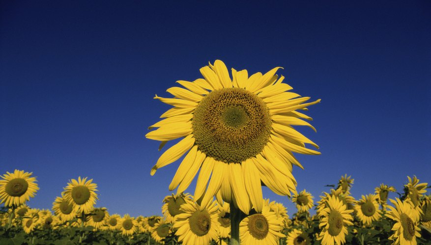 The head of the sunflower is composed of many small flowers.