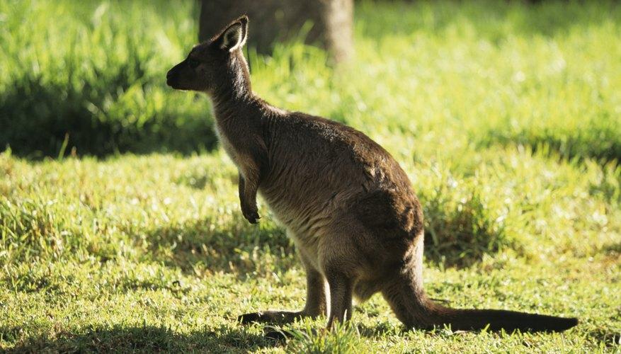 The kangaroo is a dominant species on the Australian savanna.