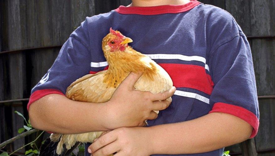 Gallinas felices pondrán huevos cerca de los humanos.