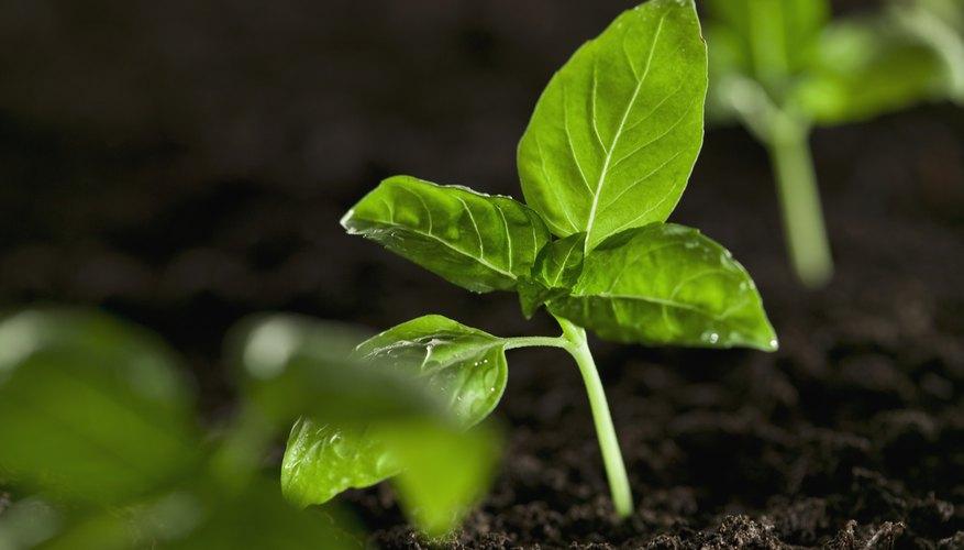 Las hojas verdes ayudan a realizar la fotosíntesis.