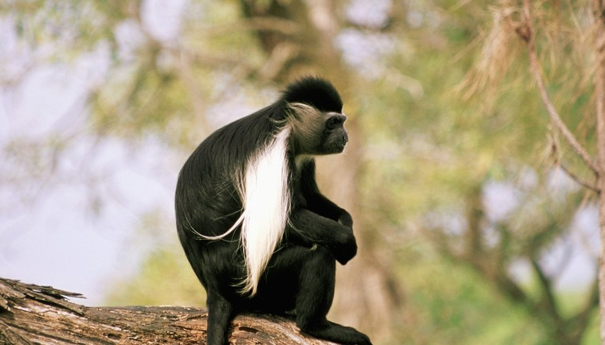 Despite living in trees, the colobus monkeys of Africa lack thumbs.