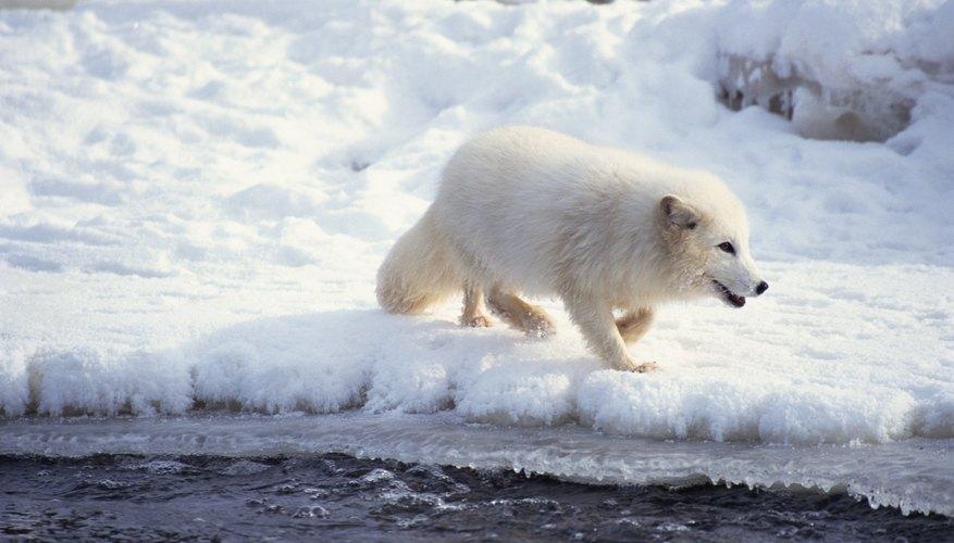 Arctic fox in the Arctic Circle.