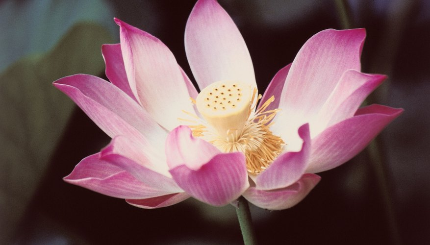 The lotus is one very recognizable Asian flower name.