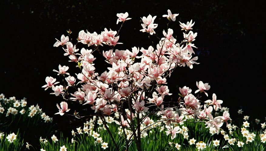 Star magnolia trees feature white or pink blooms.