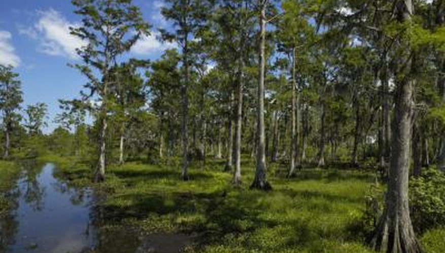 Cypress swamps are a preferred habitat of the brown water snake.