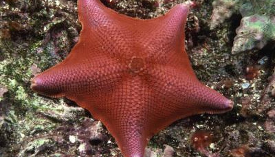 A bat star may be host to up to 20 annelid worms.