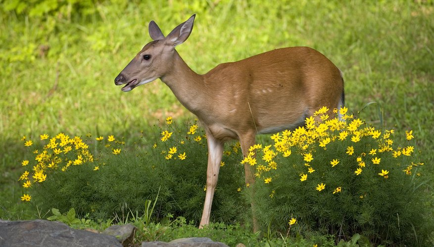 In suburban areas, deer may munch on roses and other flowers.