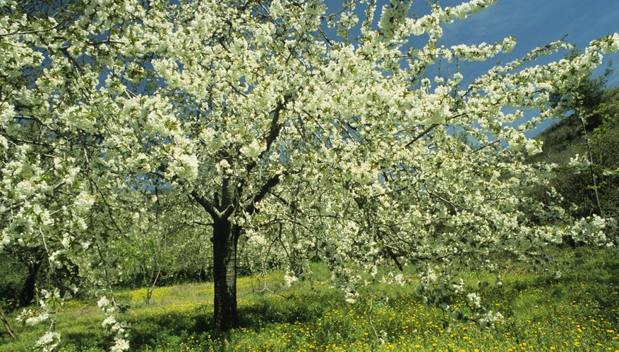 Cherries erupt with a profusion of white blossoms on bare branches each spring.