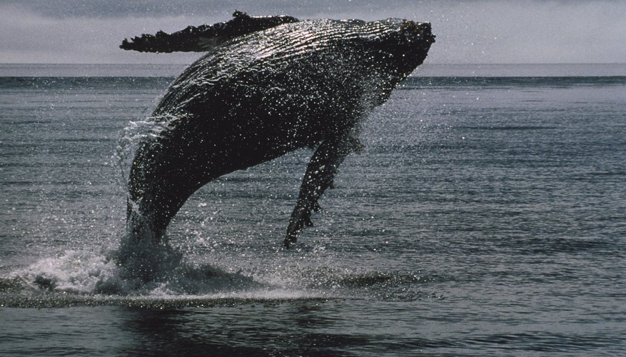 Humpback whales are dark gray to black in color.