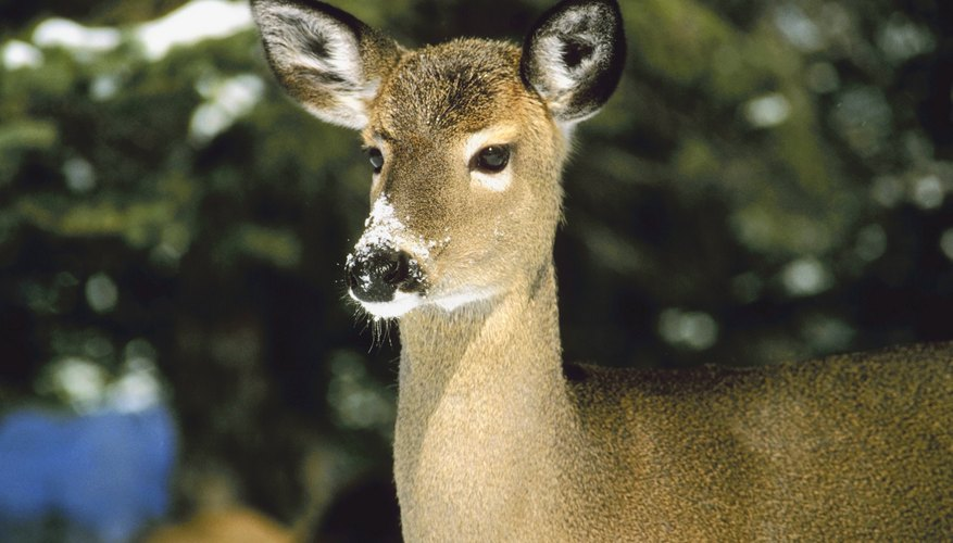If you like to leave the deer in the woods, a foam deer head is a good alternative.