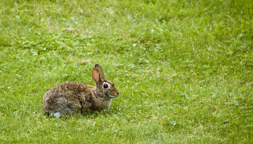 Cottontail rabbits can raise as many as six litters per year, averaging five young per litter.