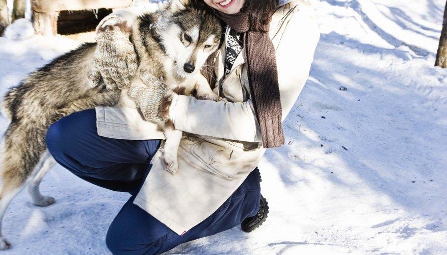 Un husky siberiano miniatura es una raza especial que comparte muchas de las mismas características que un husky normal a pesar de su diminuto tamaño.