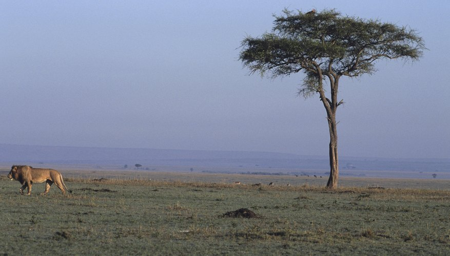 Grassland biome with tree and lion.