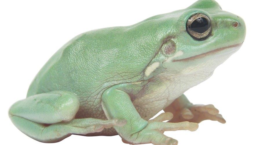 → ¿Cuál es el propósito de la disección de la rana? | Geniolandia