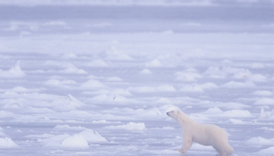 Warming temperatures reduce the amount of ice on which polar bears can hunt.