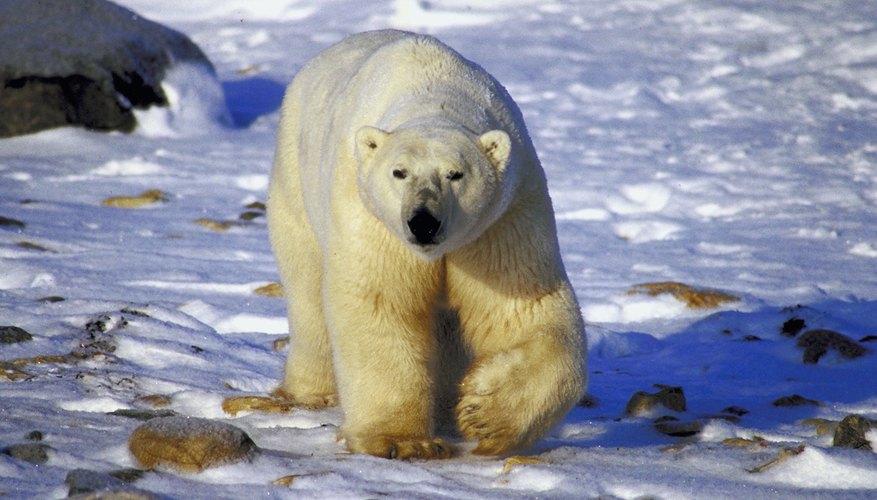 El oso polar es el predador terrestre más grande.