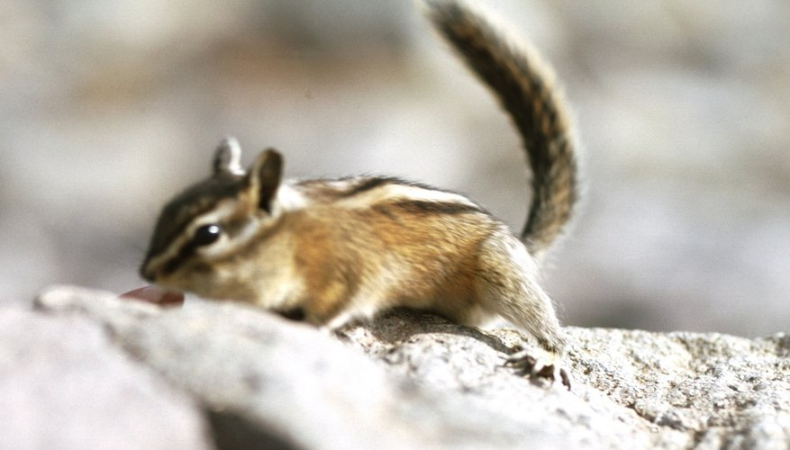 Chipmunks often burrow in wooded areas.
