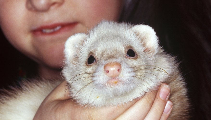 how to buy a pet ferret
