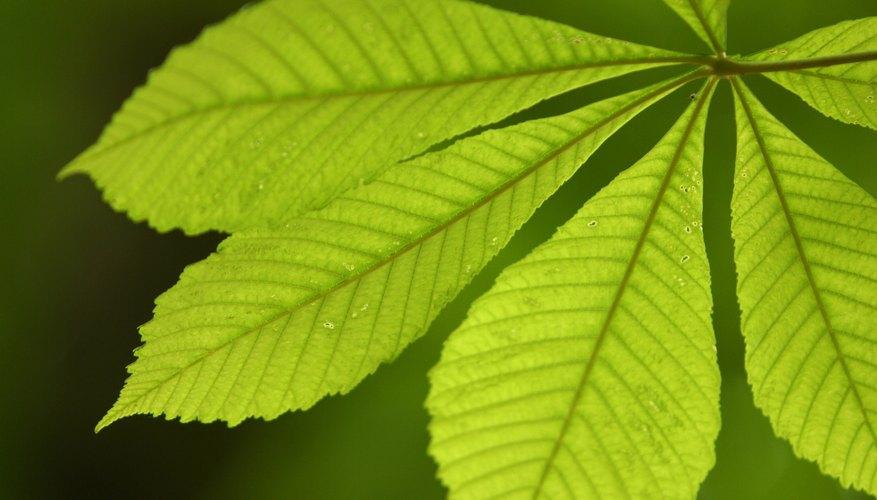 La hoja es donde se realiza la fotosíntesis en una planta.