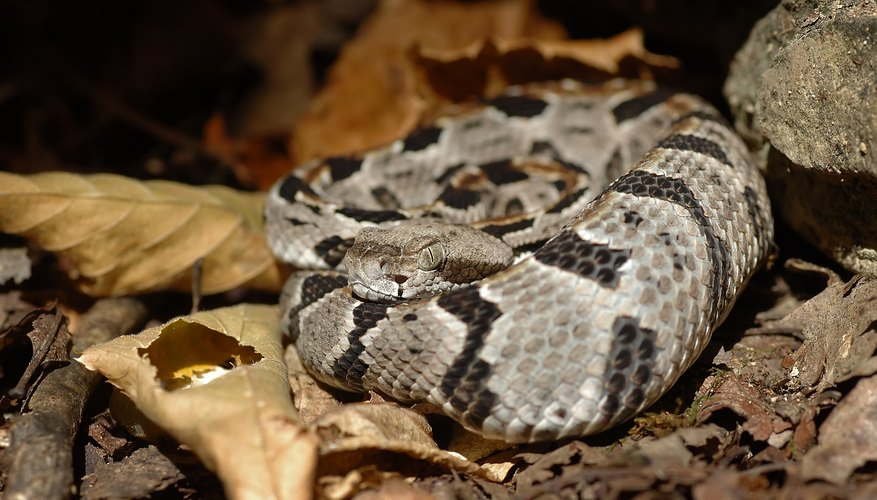 Baby rattlesnakes aren't as stout as adults.