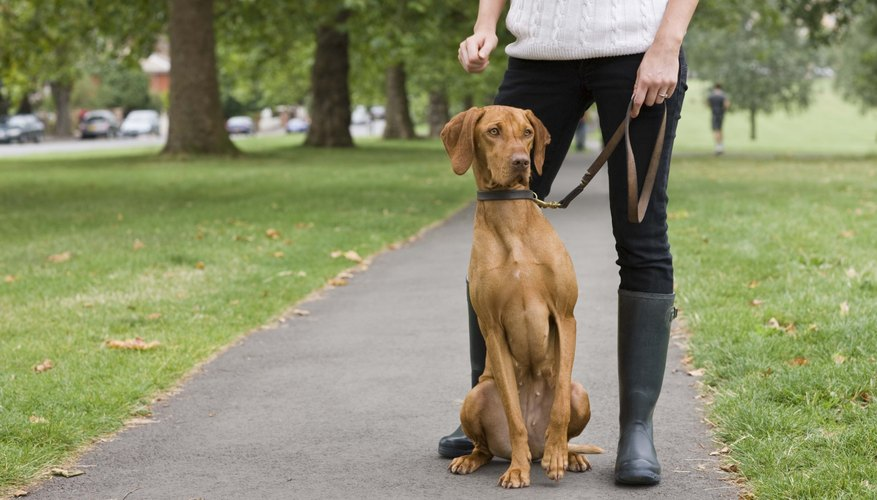 Person with Hungarian Vizsla dog