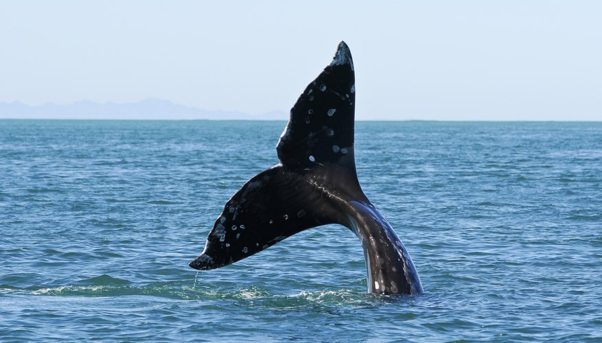 The tail of a whale is seen at the surface of the ocean.