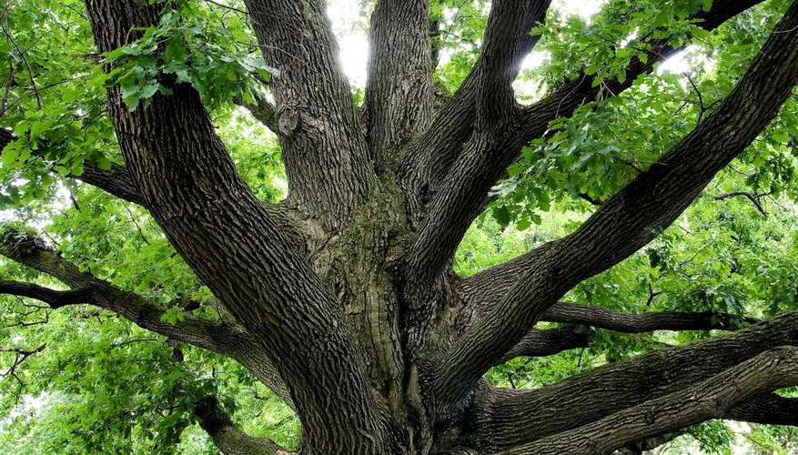 Facts about white oak trees sciencing
