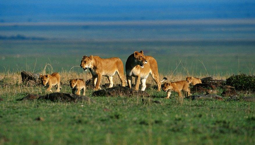 Su medio ambiente es limitado, ya que las poblaciones humanas se han apoderado de gran parte de su hábitat.
