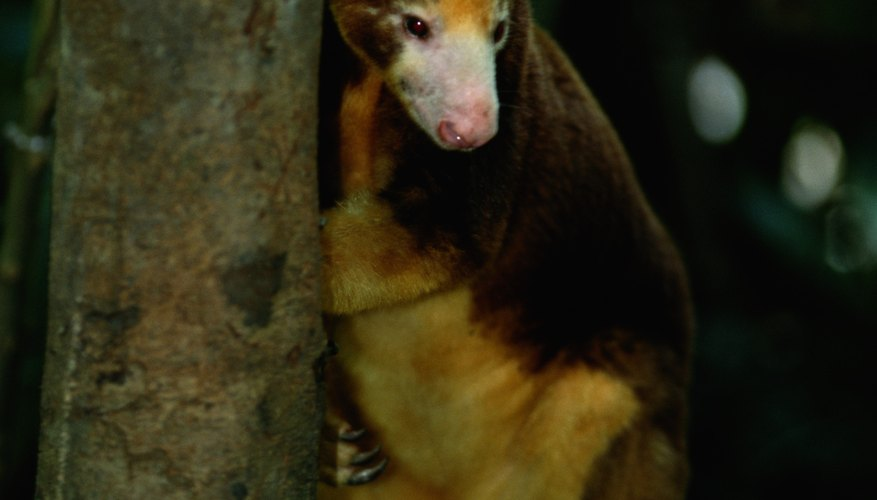 Tree kangaroos are the only macropods that can move their back feet independently.