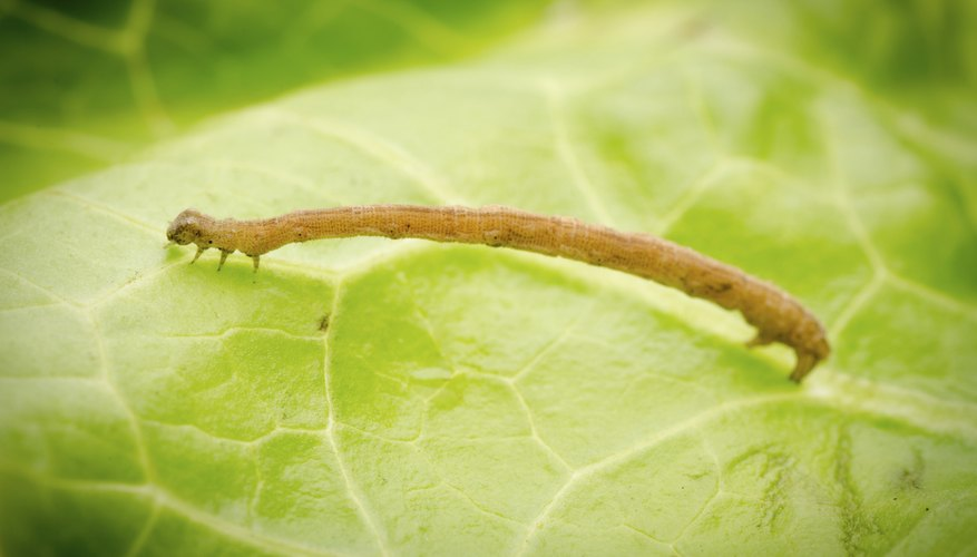 inch worm on leaf