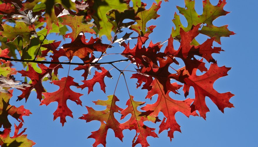 Close-up of the leaves of a red oak tree