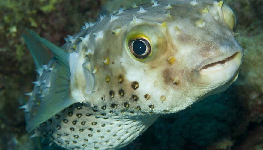 the blowfish has pointy scales