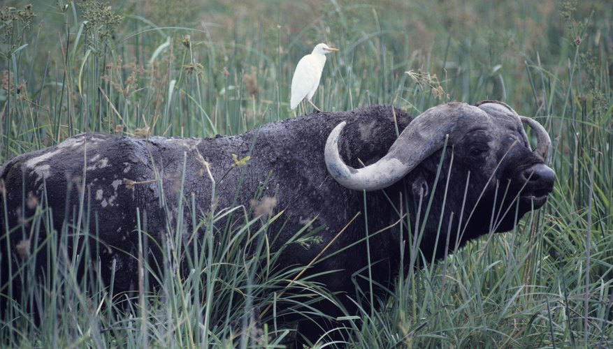 Cattle egrets and buffalo have a somewhat commensal relationship.