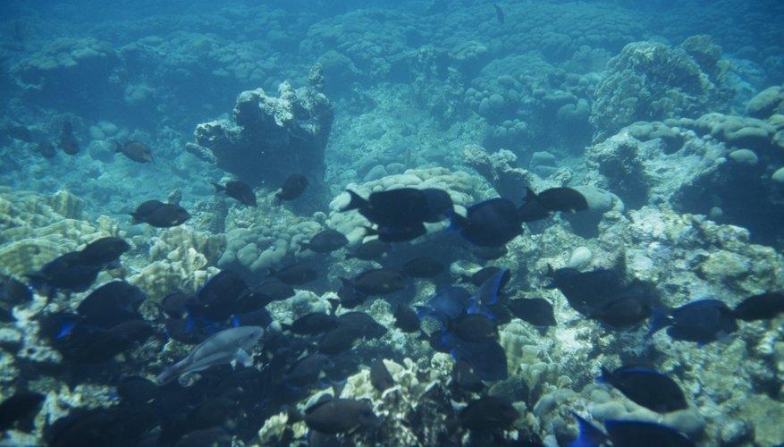 Los arrecifes de coral existen en todos los océanos tropicales del mundo y son amenazados por enfermedades, cambio climático y destrucción de actividades humanas.