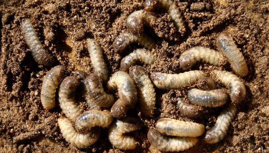 Worms in larvae state
